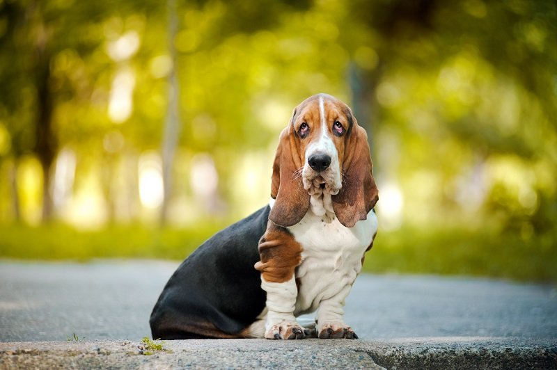 Basset Hound sitting and looking at the camera