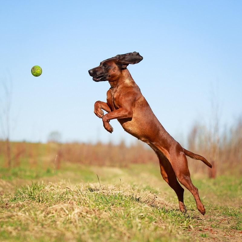 Jumping Bavarian Mountain Hound trying to catch tennis ball