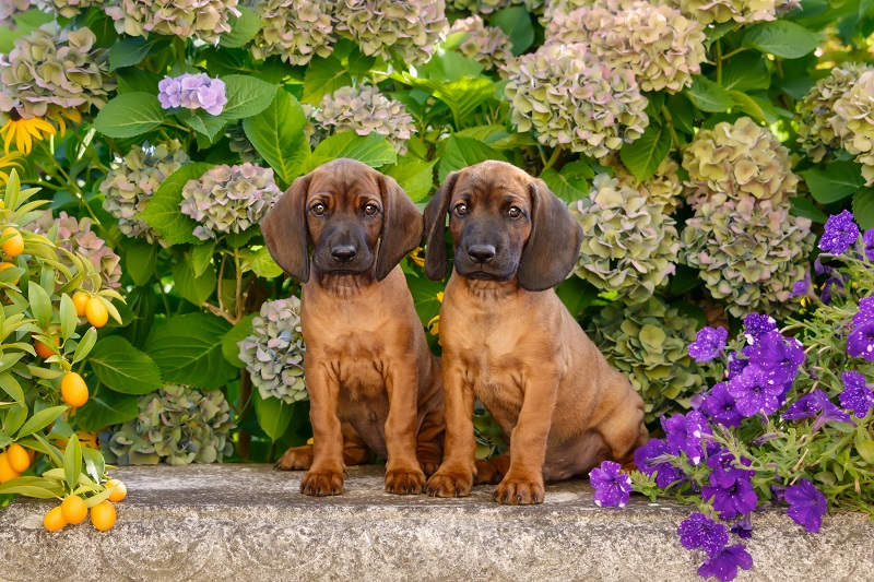 Two Bavarian Mountain Hound puppies, 8 weeks old, in a flowering garden, Germany