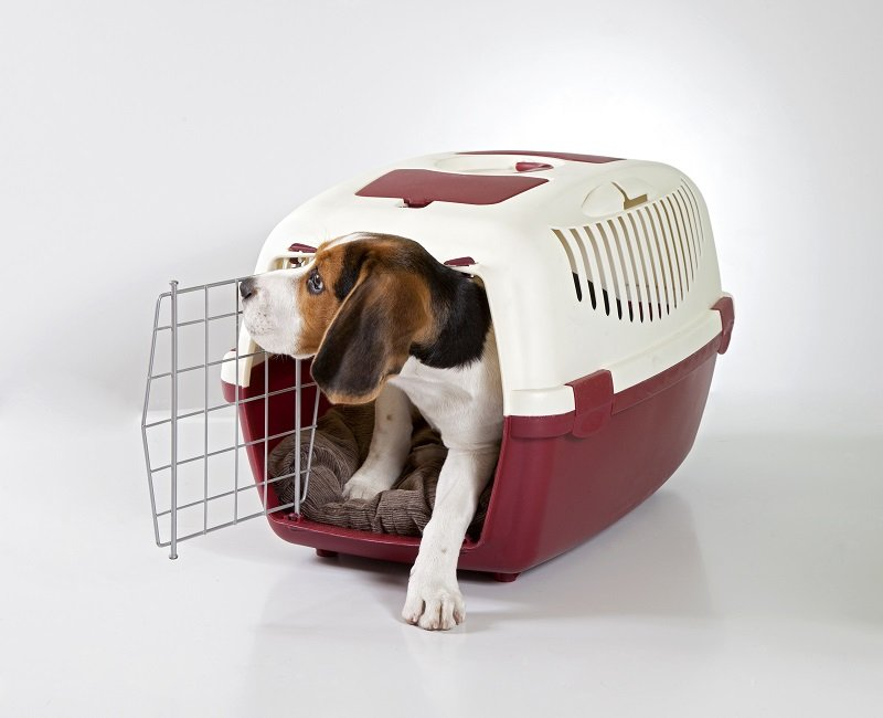 beagle in a crate