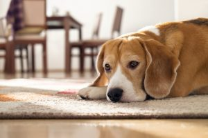 Beagle dog lying on carpet in cozy home