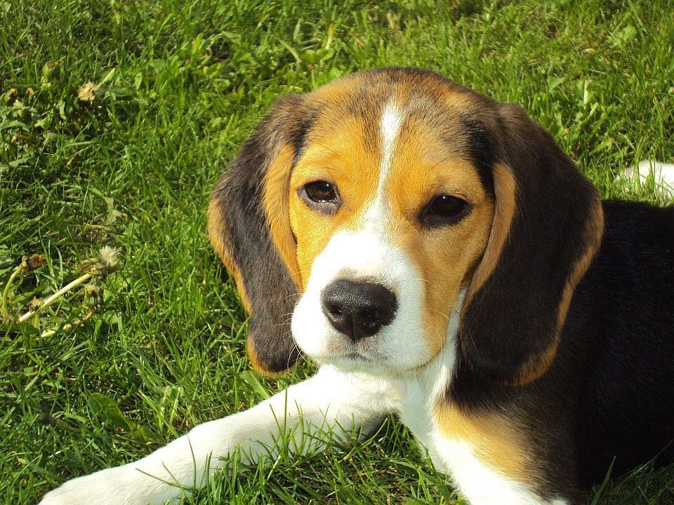 beagle puppy for sale beagle puppy price bringing home beagle puppy