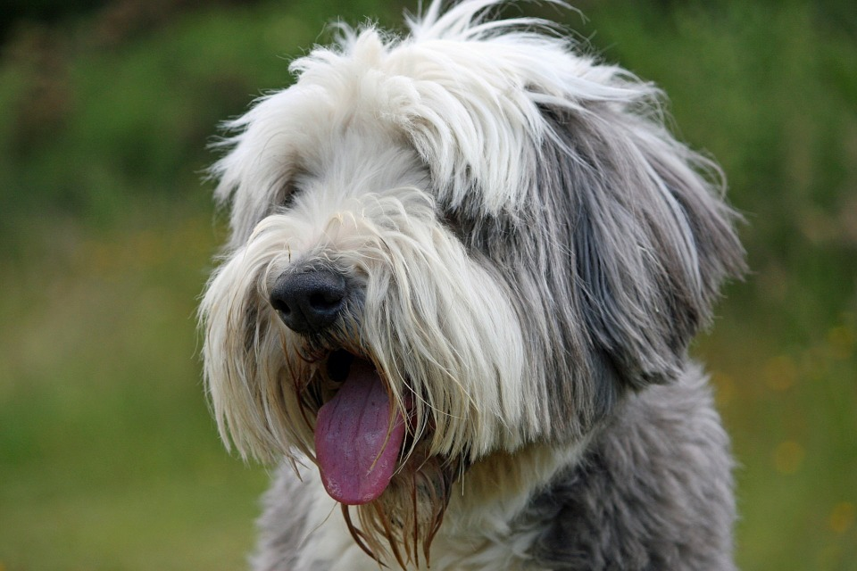 Bearded Collie close up