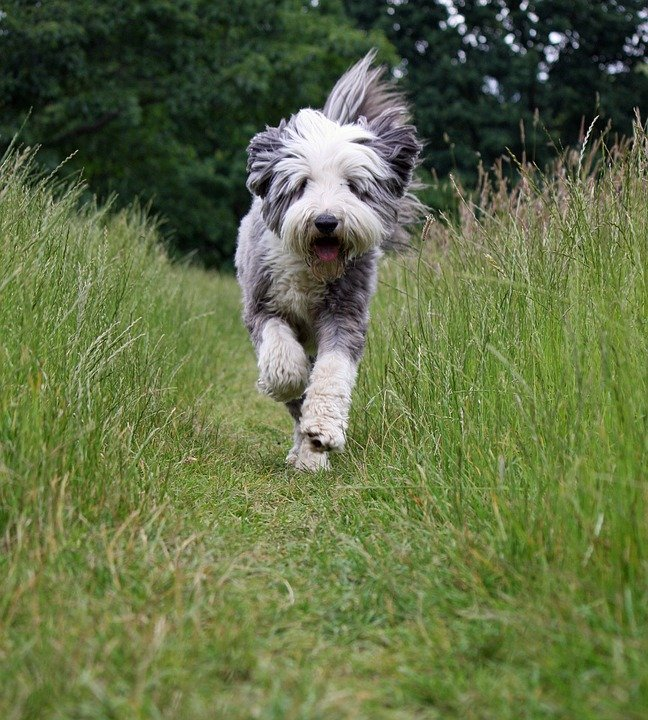 Bearded Collie running along a grassy trail