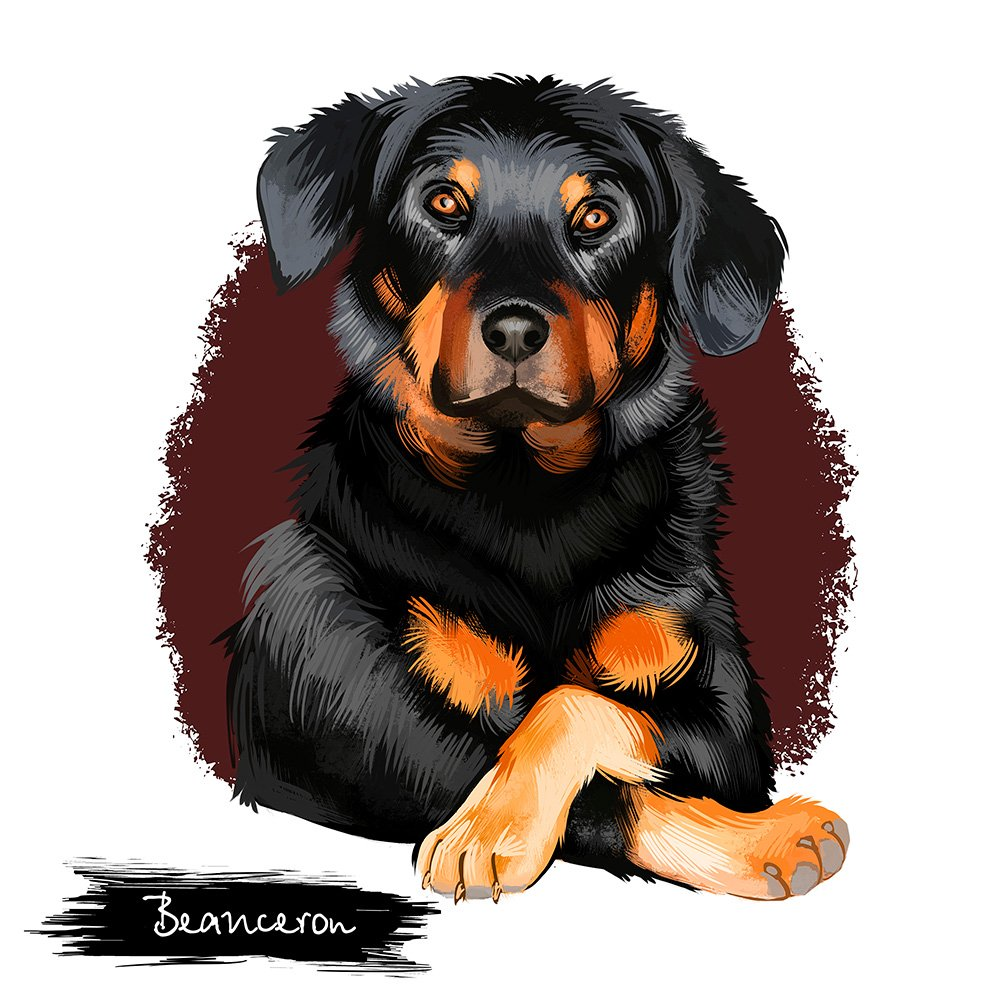 Beauceron, Berger de Beauce or Bas Rouge guard herding dog breed digital art illustration isolated on white background