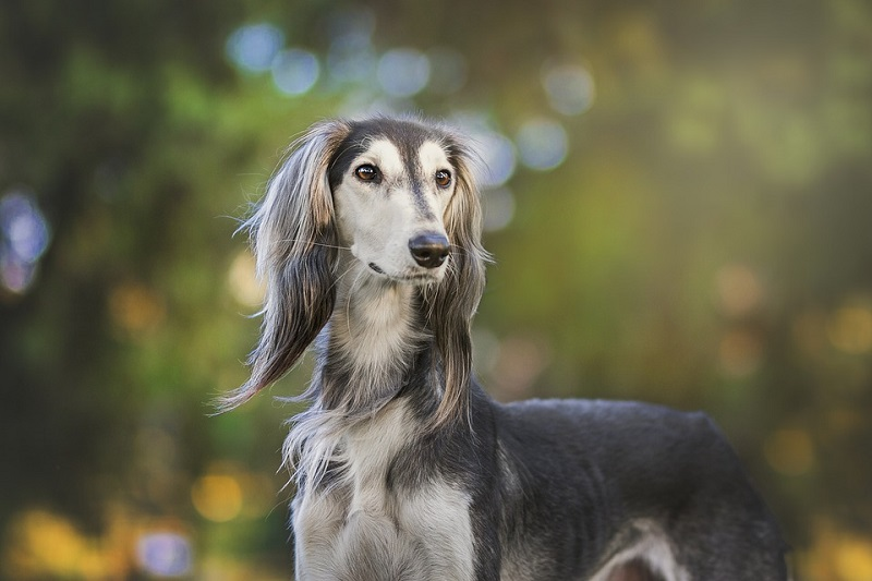 A beautiful grey saluki looks on