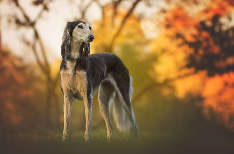 beautiful saluki against a natural backdrop
