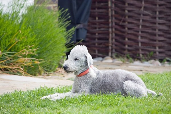 bedlington-terrier-dog dogs that dont shed much