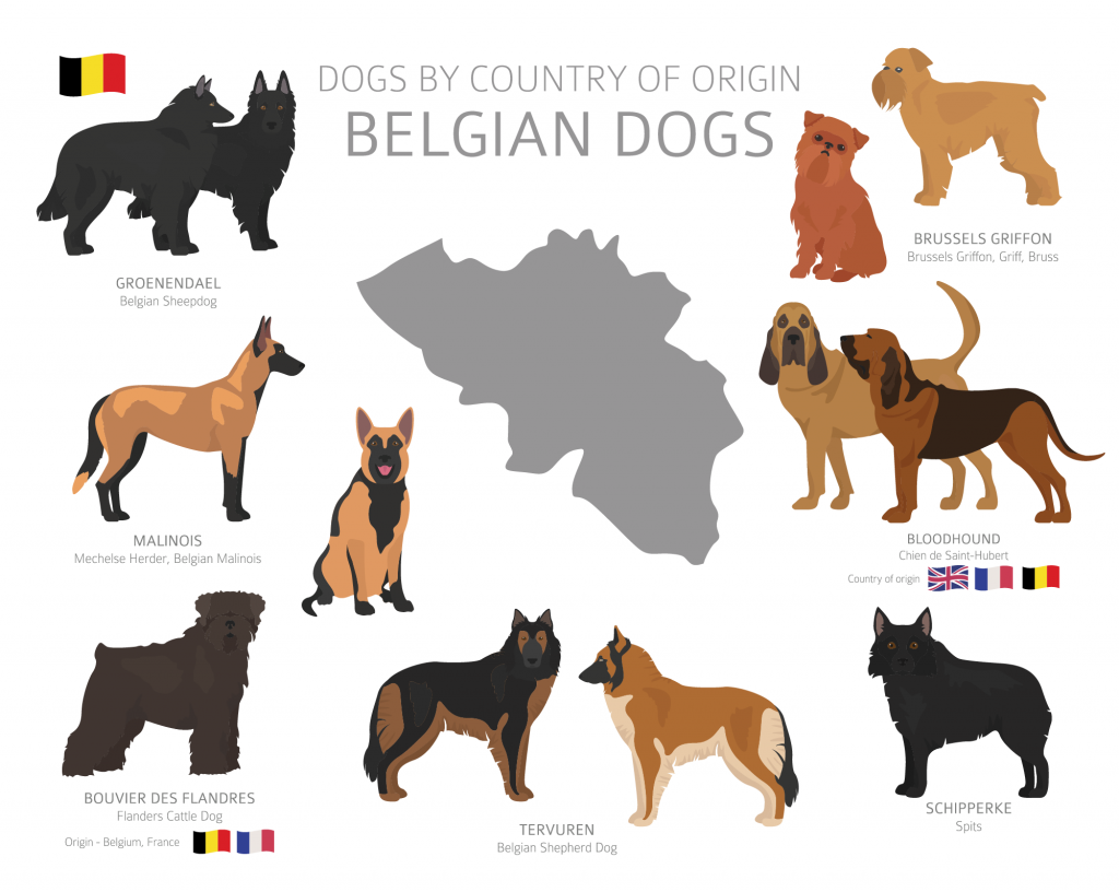 Illustration of Belgian dog breeds