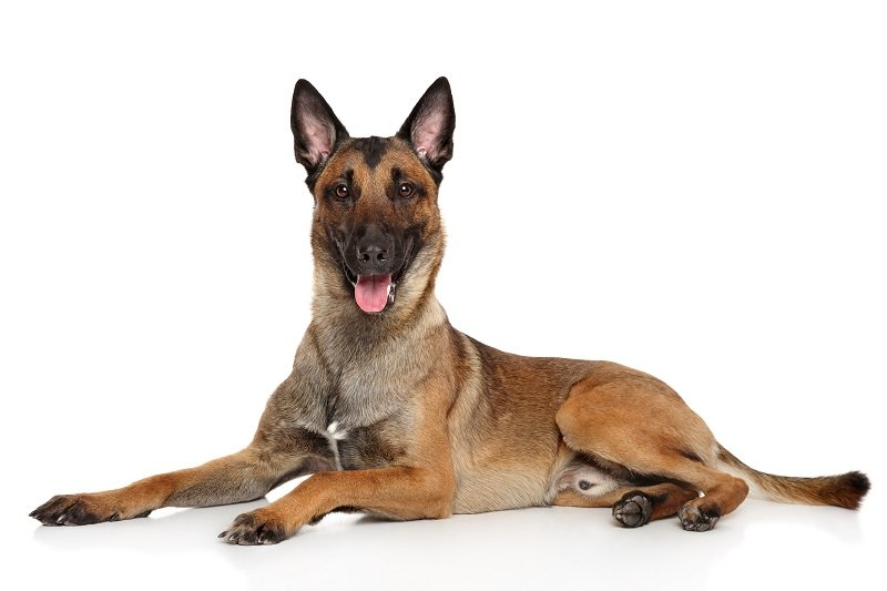 Belgian Shepherd dog Malinois lying on a white background