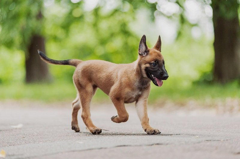 beautiful brown Belgian Shepherd ( Malinois )