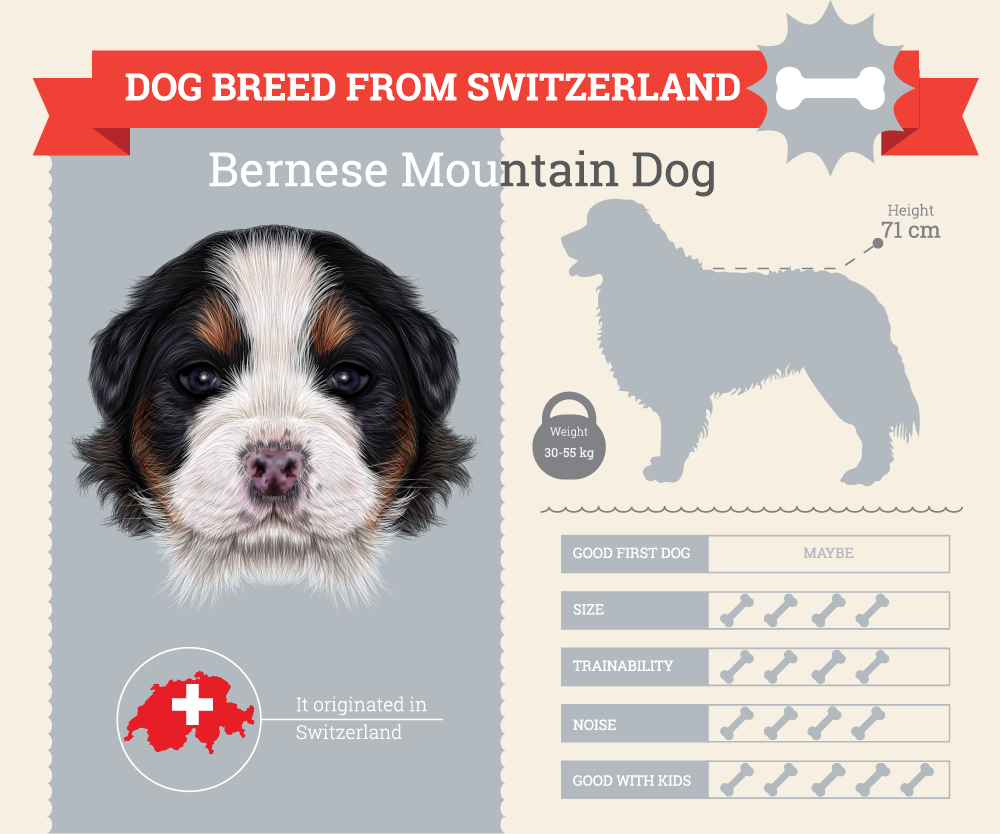 Bernese Mountain Dog infographic