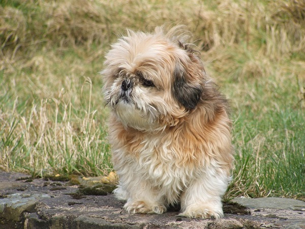 best dog breeds for seniors and elderly shih tzu