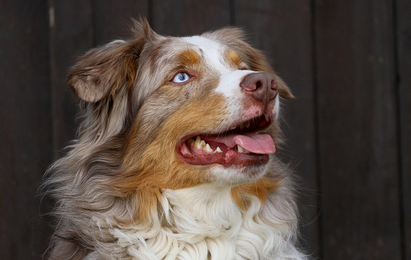 Smiling Australian Shepherd with blue eyes looking up