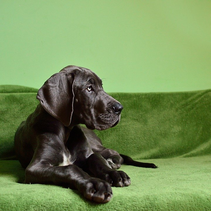 best-dog-names-majestic-dog-names-for-Great-Dane-puppies