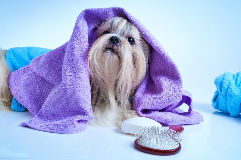Shih tzu dog after washing. With bathrobe, towels and comb. Soft blue background tint.