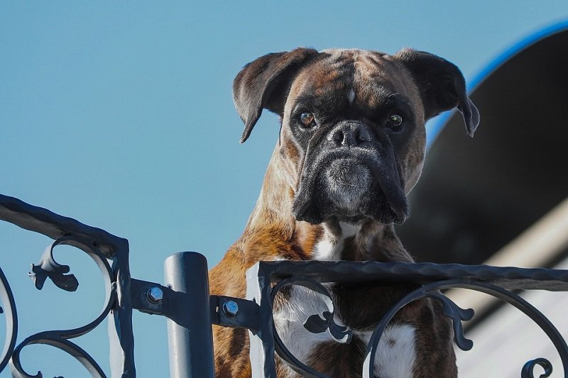 best personal protection dog breeds