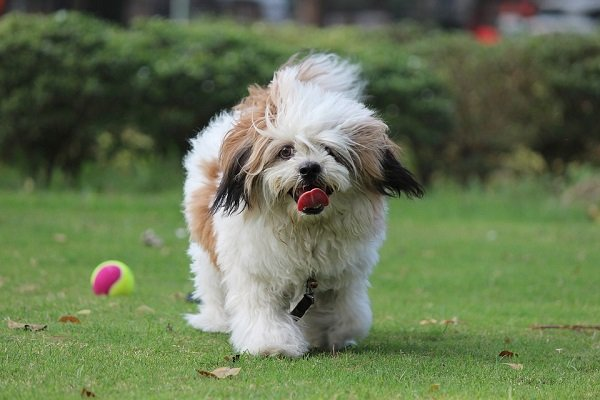 best small dogs lhasa apso for kids and families