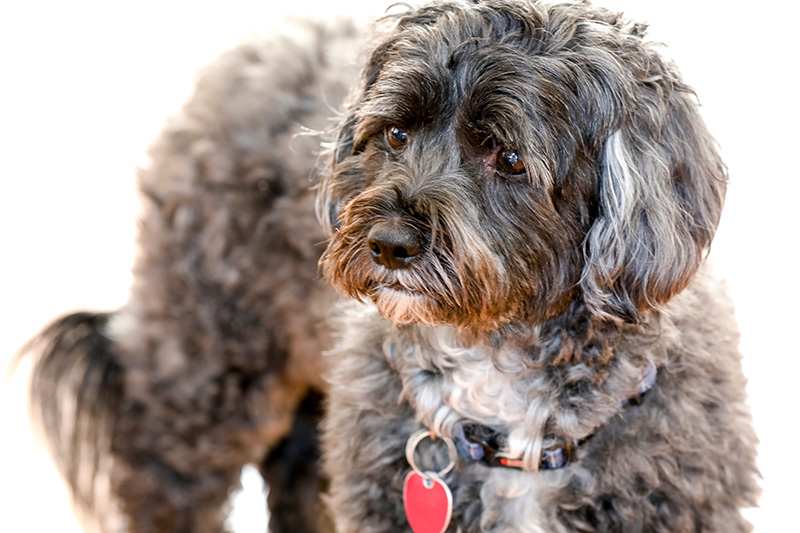 Photograph of Shih Poo with face in focus