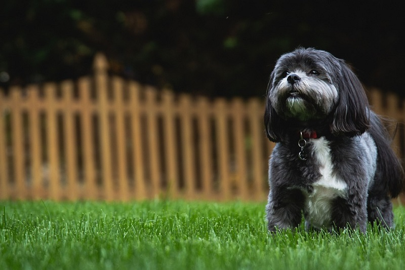 a black and white shih tzu looks on and plays on the grass