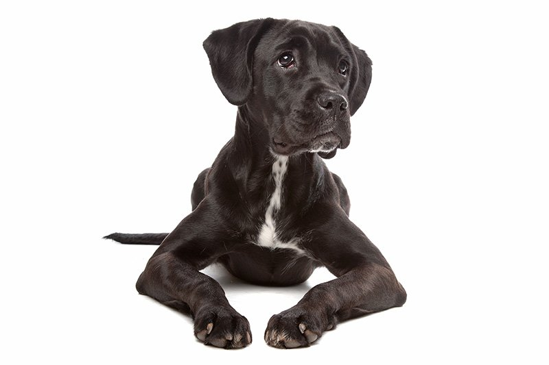 Boxer lab mix puppy on white background