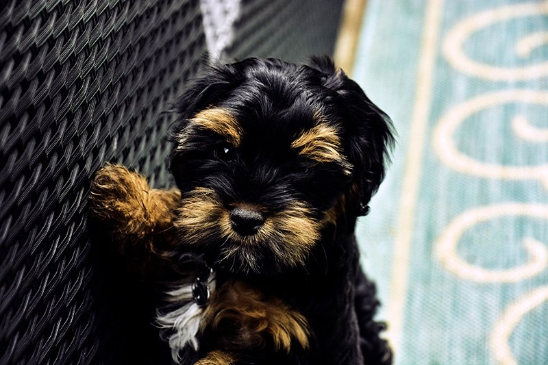 Black and brown Shih Poo puppy