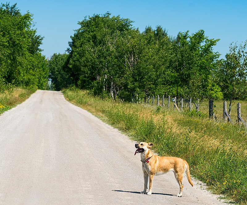 Black Mouth Cur dog standing on a country road