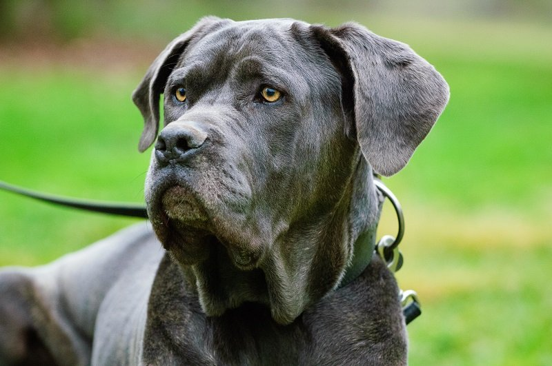 Black Neapolitan Mastiff in leash