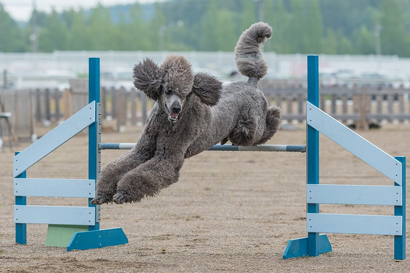 Black Poodle jumping over obstacle at competition