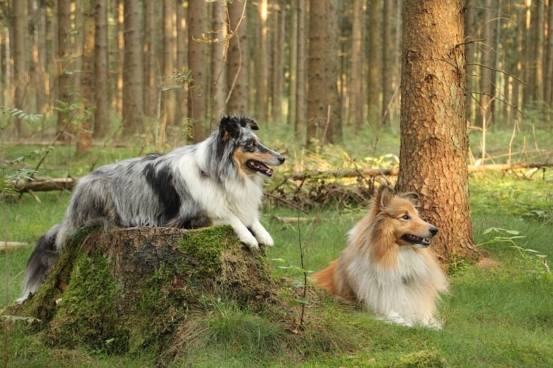 two shelties merle and brown-white Shetland sheepdogs