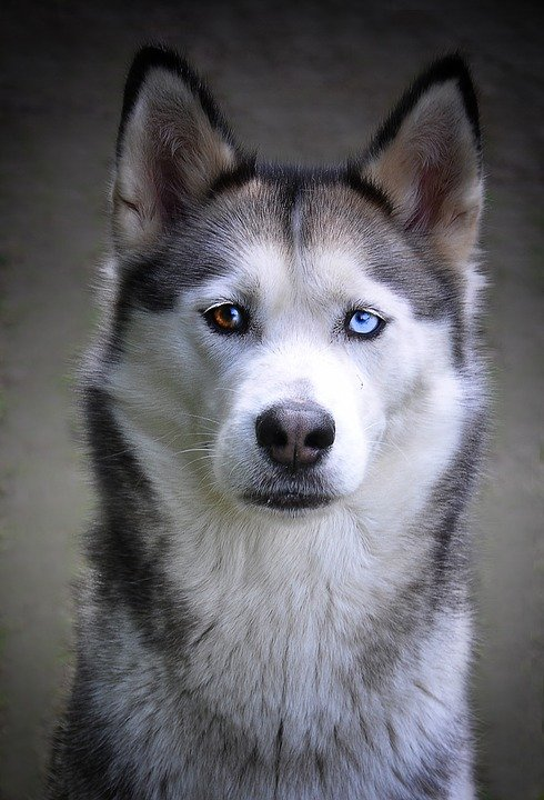 blue eyed dog breeds health problems