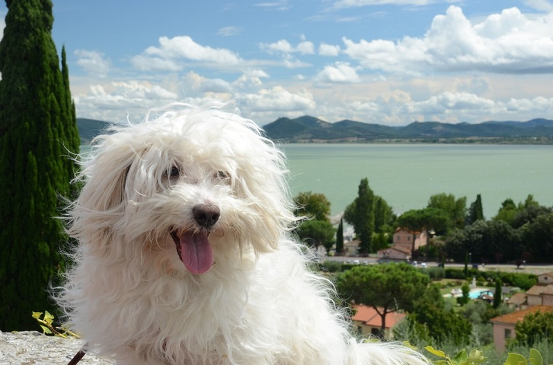 Italian Bolognese dog with beautiful scenery in the background