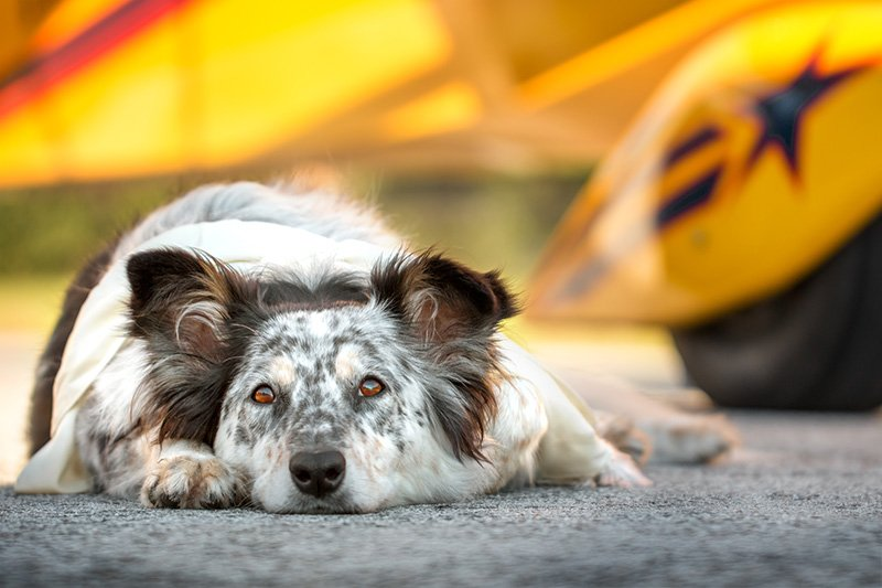 Border Collie Australian Shepherd mix in front of yellow plane