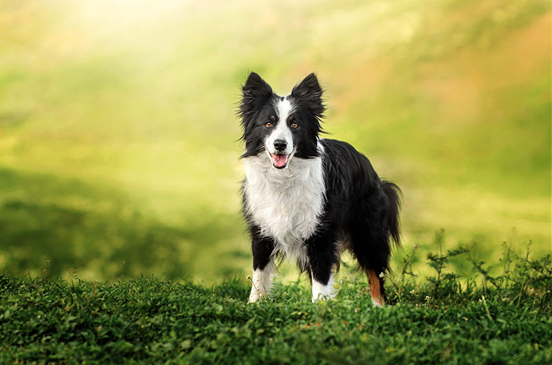 Border Collie dog standing in green field