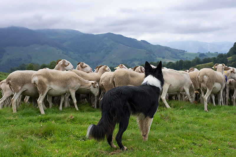 Border Collie herding sheep