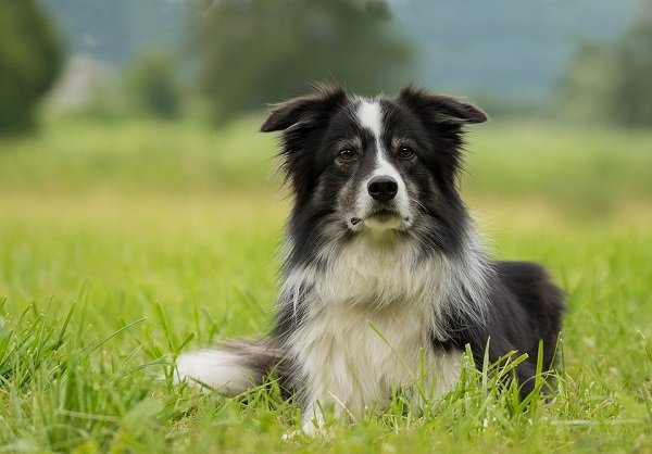 border collie is one of the healthiest dog breeds