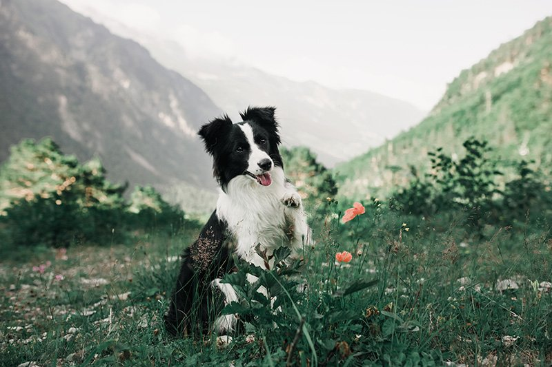 Border Collie sitting on grassy hill with mountains in the background