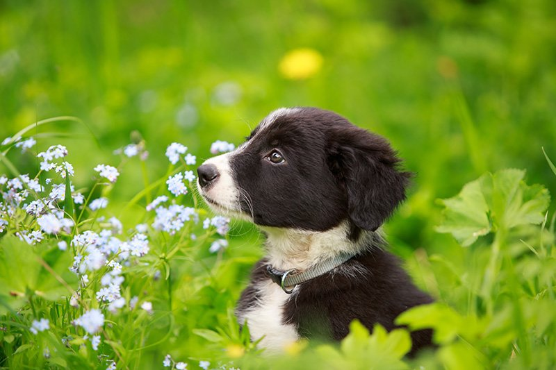 Border Collie puppy sitting in flower garden