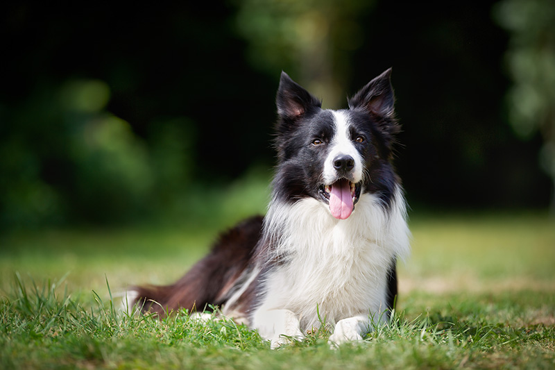 Border Collie resting on grass