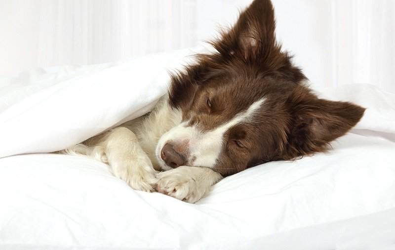 Beautiful Collie border breed dog sleeping in bed covered with a blanket