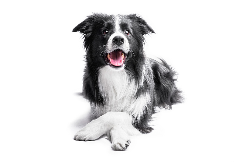 Border Collie isolated on white background