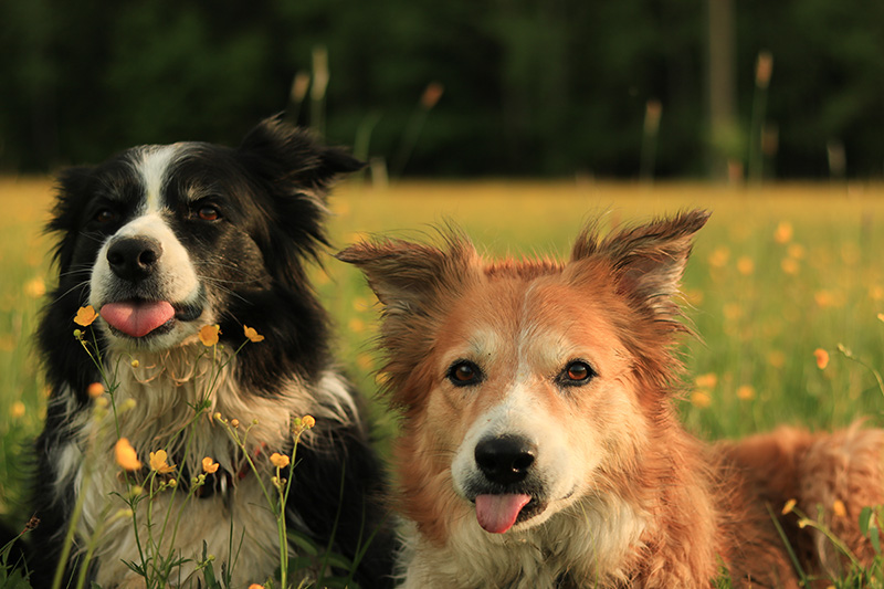 Two Border Collies sitting next to each other on field with tongues sticking out