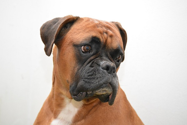 boxer-best dog for families