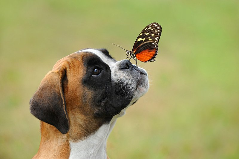 Boxer dog with butterfly on nose