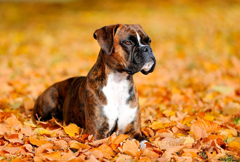 Boxer dog lying on leaves in autumn