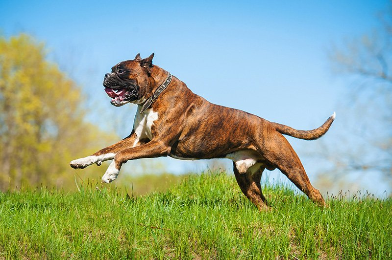 Boxer dog running in the field