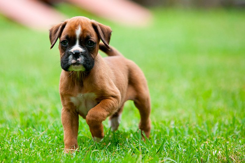 Boxer puppy standing on green grass