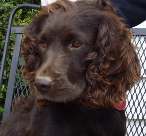 Female Boykin Spaniel with curly hair
