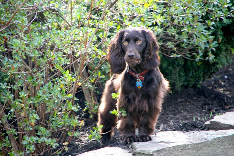 Boykin Spaniel with bushes in the background