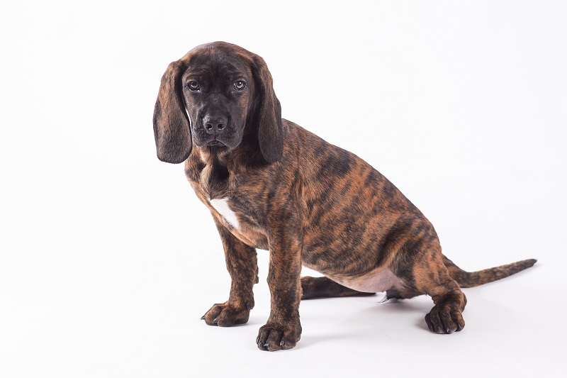 Bavarian mountain hound isolated on white background